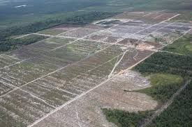 deforestation caused by palm oil cultivation