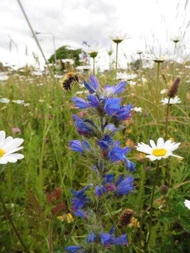 Common carder bee Bombus pascuorum Muirton Perth 25 06 2013 SBurgess