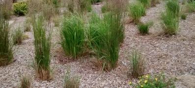Grasses (F Grahame)
