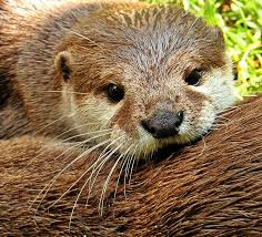 Image result for otters hiding