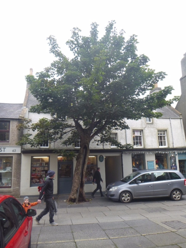 Kirkwall's Big Tree