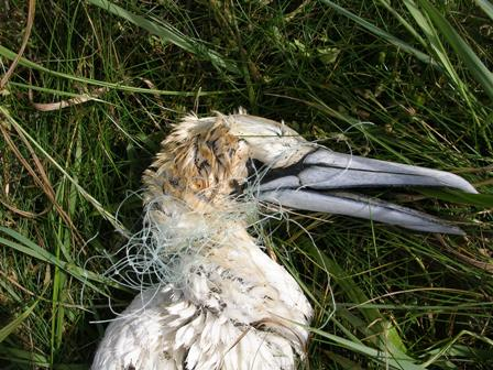 gannet with plastic B Bell