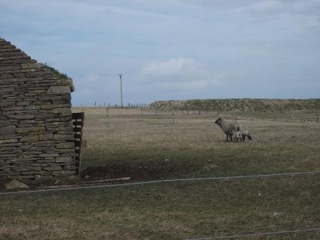 Sheep A B Bell