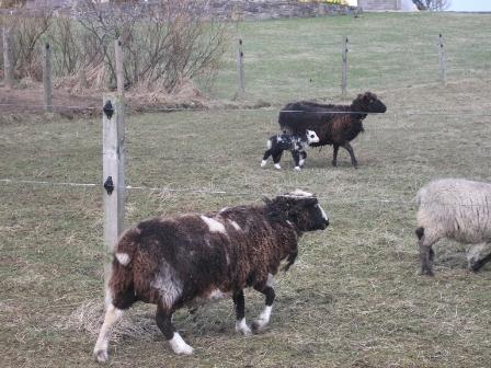 sheep B Bell
