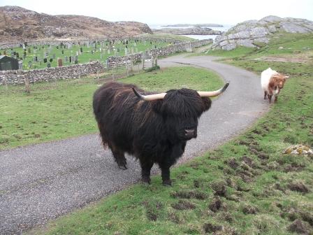 Highland Cows B Bell