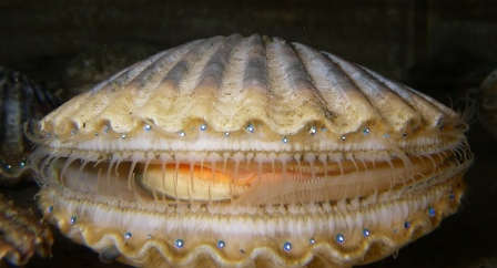 Argopecten irradians scallops