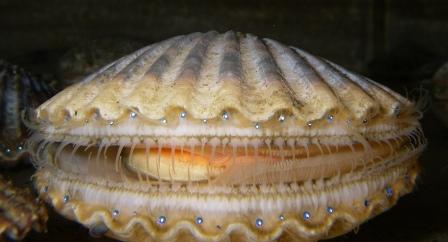 Argopecten irradians scallops