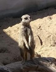 Fernvalley meerkat 1