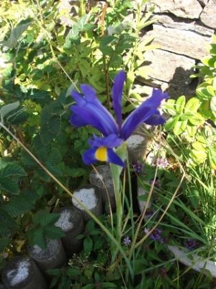 gardening 1a B Bell Iris