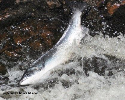 salmon leap 2