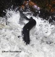 salmon leap 3