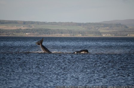 whale in the Dornoch Firth by Andrew Tryon