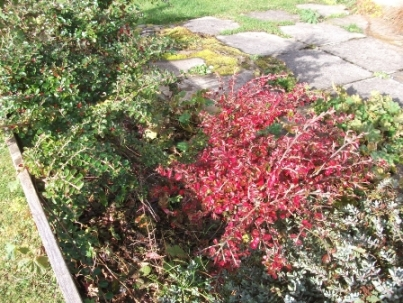 Different Cotoneaster - with berries