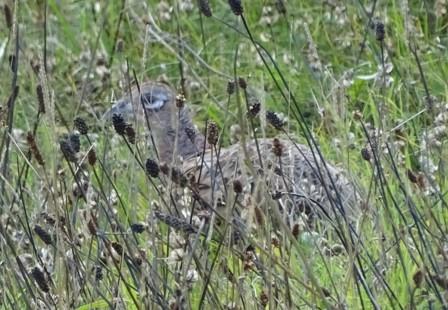 A pheasant's eye