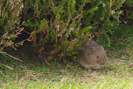 Orkney vole