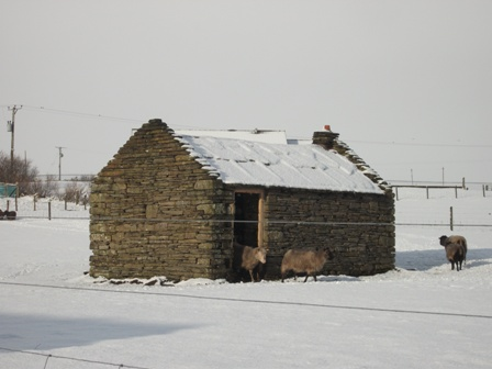 sheep in the snow b bell