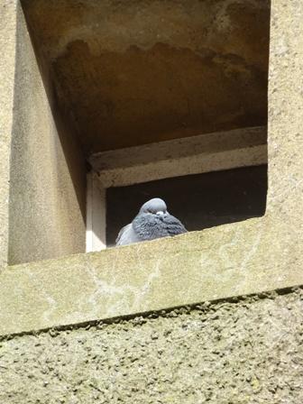 Victoria St Kirkwall Bell 11 pigeon