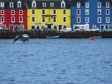 Bottlenose dolphin in Tobermory harbour © HWDT_Karen Denoon