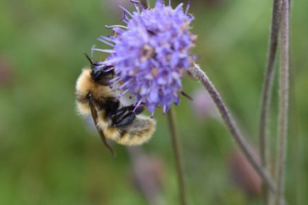 Great yellow bumblebee (Bombus distinguendus), Orkney © Izzy Bunting (medium)