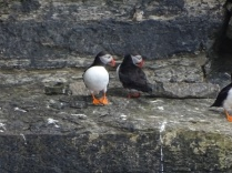 Marwick puffins Bell 2