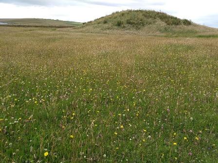 Brodgar wildflowers 1