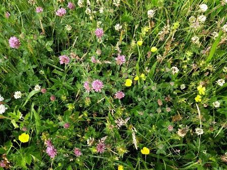 Brodgar wildflowers 2