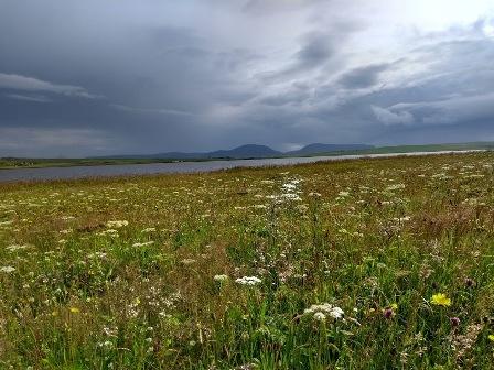 Brodgar wildflowers 4