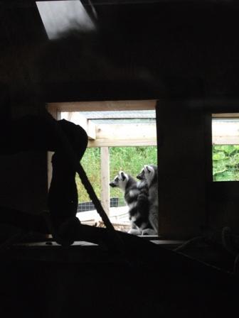 lemurs 2 Bell