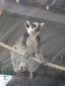 lemurs 3 Bell