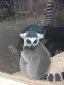 lemurs 4 Bell