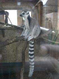 lemurs 5 Bell