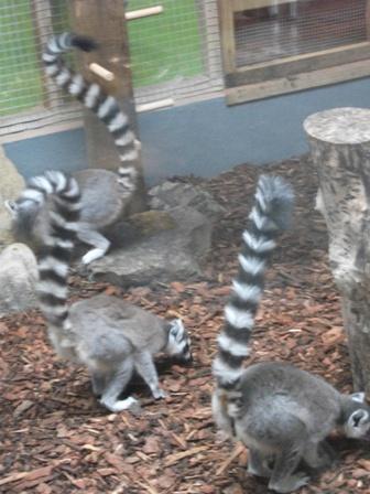 lemurs 7 Bell