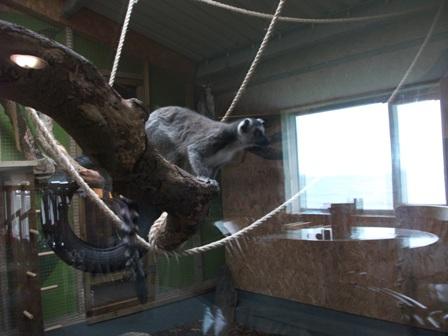 lemurs 8 Bell