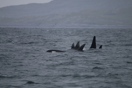 Mystery killer whale pod seen from Silurian near Vatersay, June 2018 © Hebridean Whale and Dolphin Trust (medium)