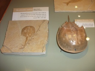 Fossil Centre horseshoe crab Bell
