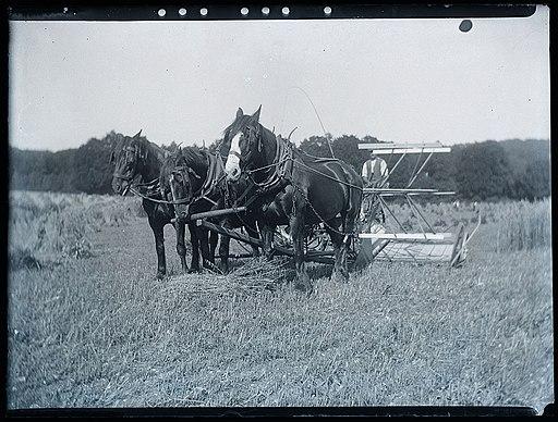 Early 1900s farming scene   horse drawn reaper harvester