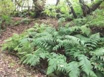 Binscarth Woods Autumn ferns Bell