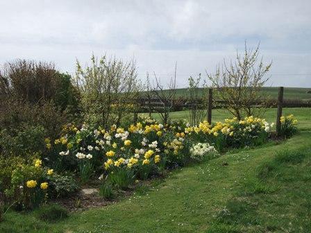 Daffodils Bell