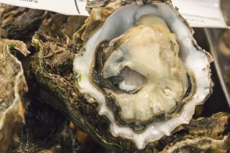 native oyster (Ostrea edulis)