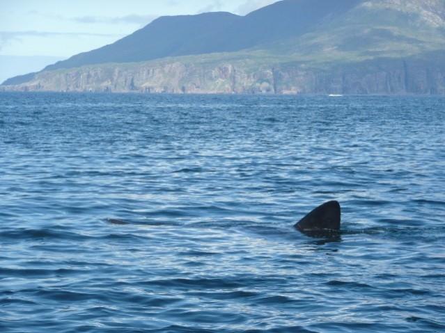basking shark fin Copyright Lilian Lieber