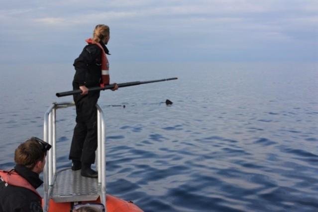 basking shark swab Copyright Lilian Lieber