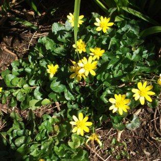 Bell Spring flower marsh marigold