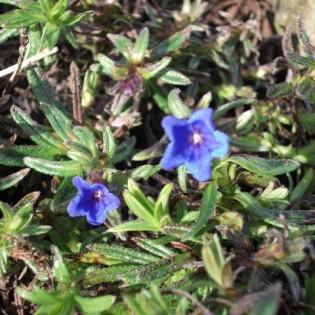 Bell Spring flower - blue