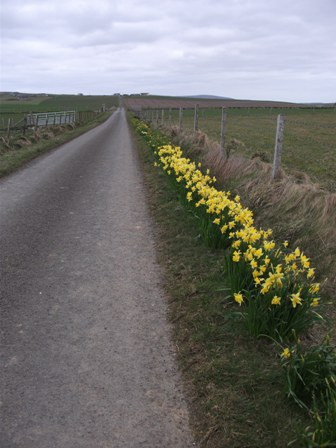 road with daffodils Bell