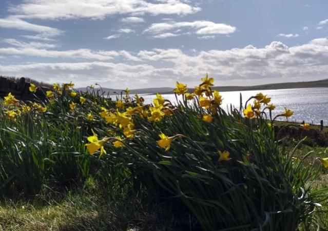 daffodils and Spring
