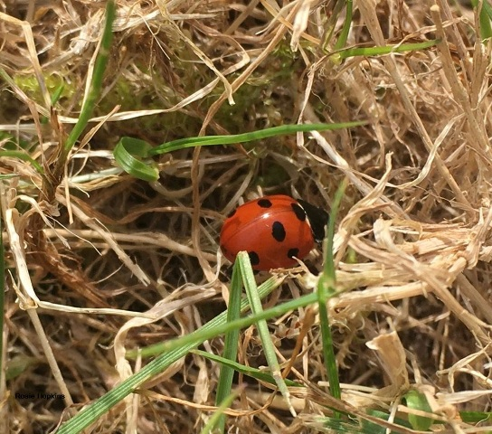 Ladybird by Rosie Hopkins