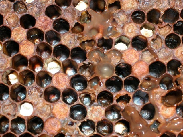 American Foulbrood infected bee hive