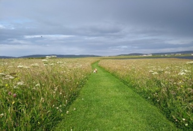 brodgar wildflowers