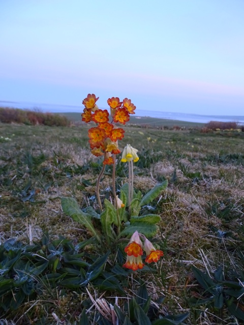 Primula and cowslip flowers Bell