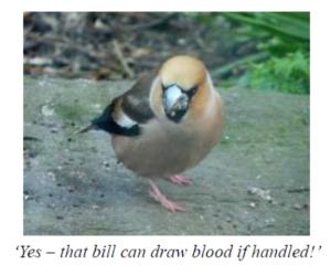 Hawfinch bird Stronsay 2